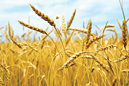 grains-gluten-thyroiditis